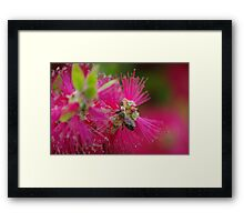 bee on a bottle brush flower Framed Print