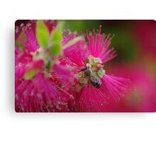 bee on a bottle brush flower Canvas Print