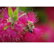 bee on a bottle brush flower Photographic Print