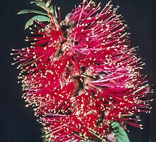 Red callistemon (Bottlebrush) nr Wangary South Australia 1982 09070051 by Fred Mitchell