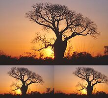 Collage of Three Boab Trees at Sunset by alycanon