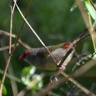 Red-Browed Finch - NSW by CasPhotography
