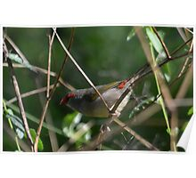 Red-Browed Finch - NSW Poster