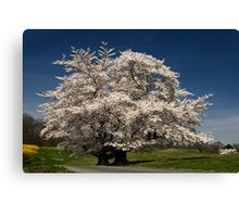 Cherries in Spring Canvas Print