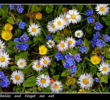 daisies and forget me not  by pascal  desvignes