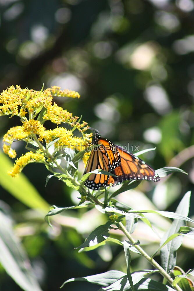 Monarch Butterfly by lighthousegrphx