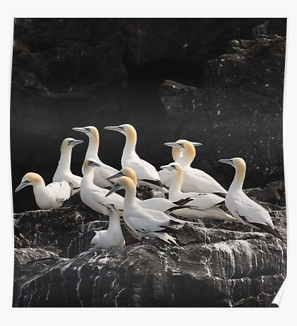 A gathering of Gannets Poster