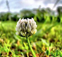 Clover Blossom by aprilann