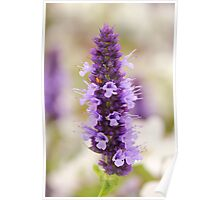 Fresh lavender Poster