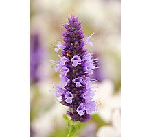 Fresh lavender Photographic Print