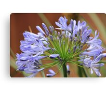 Agapanthus Blue Canvas Print