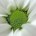Daisy Opening by David Alexander Elder