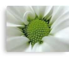 Daisy Opening Canvas Print