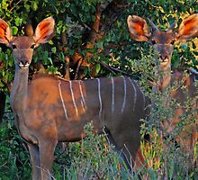 Two of a kind by Explorations Africa Dan MacKenzie