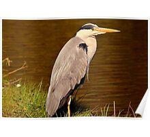 Grey Heron In Sankey Valley Poster