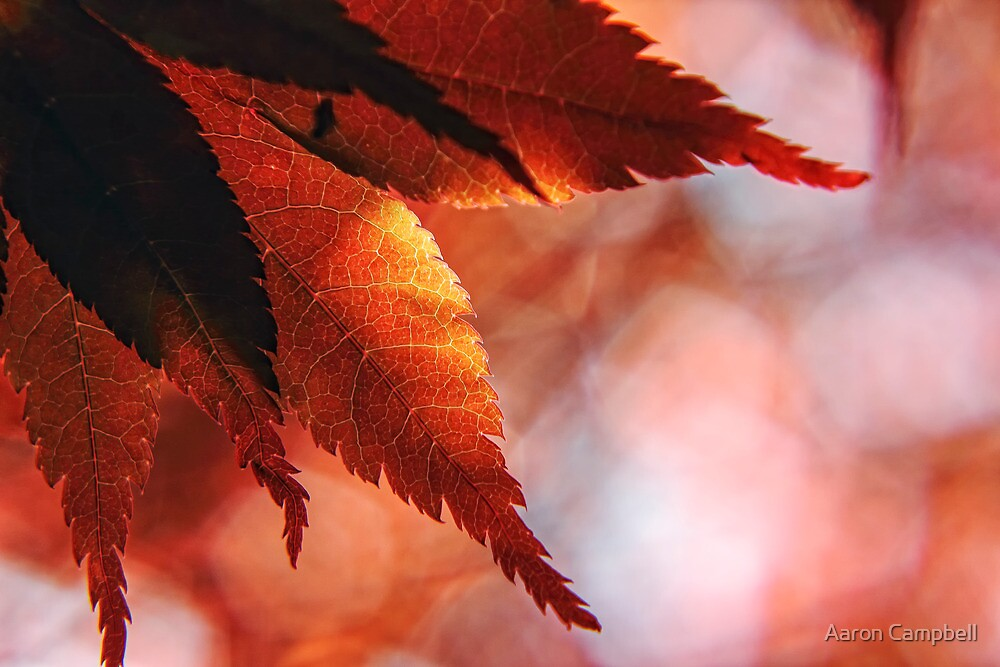 Japanese Maple Leaves by Aaron Campbell
