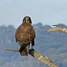 Brown Falcon by Rick Playle