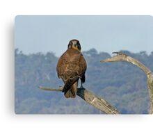 Brown Falcon Canvas Print