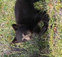 Bear Cub by Carol Bock