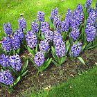 Beautiful Blue Hyacinths - Keukenhof Gardens by kathrynsgallery