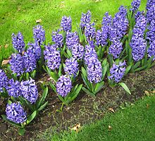 Beautiful Blue Hyacinths - Keukenhof Gardens by kathrynsgallery