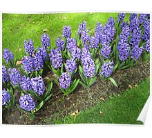 Beautiful Blue Hyacinths - Keukenhof Gardens Poster