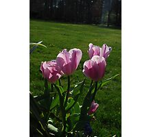 Half-Open Pink Tulips Photographic Print