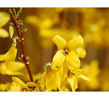 Forsythia and Fly Photographic Print