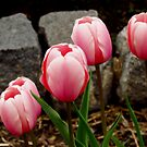In The Pink by shutterbug2010