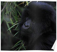 Juvenile Mountain Gorilla, Rwanda Poster