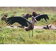 Marabou Stork Wing Flapping Photographic Print