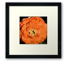 Orange Tuberous Begonia Framed Print