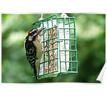 Male Downy Woodpecker Poster