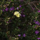 Yellow Butterfly In Flight by Noel Elliot