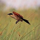 Coppery-tailed coucal by Explorations Africa Dan MacKenzie
