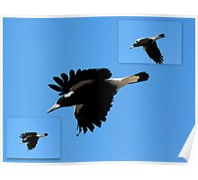 Magpies Swooping Down Poster