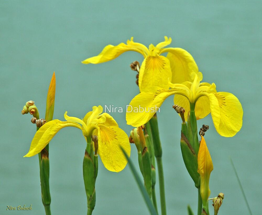 Life of Irises by Nira Dabush