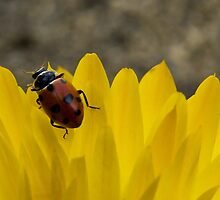Ladybird Love by Amy Dee