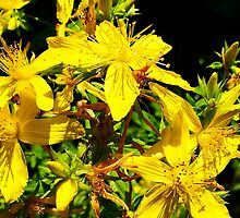 St. Johns Wort - hypericum perforatum by Digitalbcon