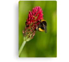 Bee vs Clover Flower Canvas Print