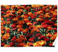 Tulip Species. Poster