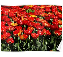 Tulip Species 3 Poster