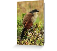 Birchell's Coucal At Cape Vidal  Greeting Card