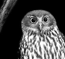 Boobook Owl by Sandra Chung