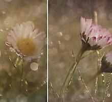 Dreamy Daisy's by Shelly Harris