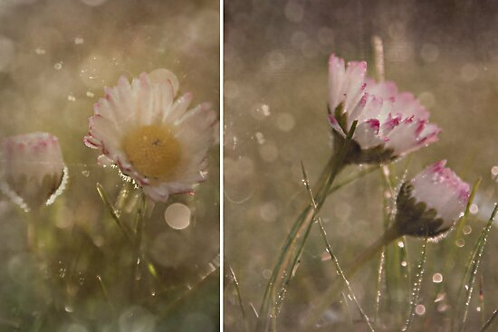 Dreamy Daisy's by Shelly Harris
