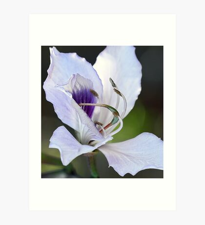Mountain Ebony (Orchid Tree Blossom) Art Print