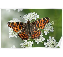 Map Butterfly On Cow Parsley Poster