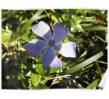 Vinca Flower Poster