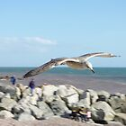 Sea gull in flight by Alice Oates